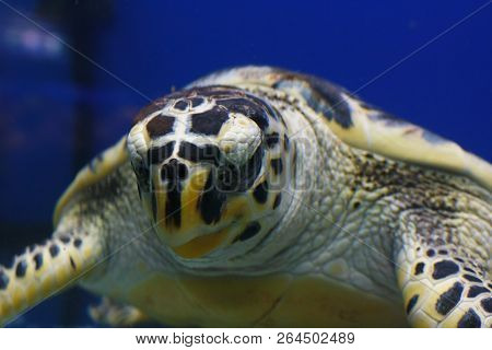 Hawksbill Sea Turtle (eretmochelys Imbricata), Also Known As The Bissa In Their Habitat