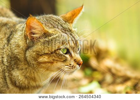 Closeup Of African Wild Cat, Felis Libyca. Side View Of Face On Blurred Background. Wild Feline In N