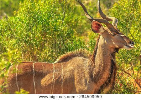 Male Greater Kudu, A Species Of Antelope In The Bushland, Kruger National Park, South Africa. Closeu