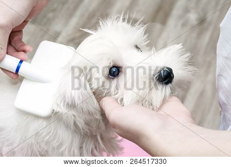Dog Grooming, Man Combing A Little White Puppy. Slicker Close-up