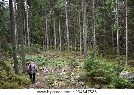 Man Walks In An Old Spruce Tree Forest With Tall Tree Trunks