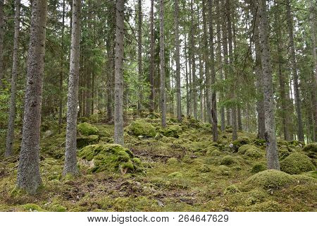 Beautiful Growing Mossy Old Spruce Tree Forest