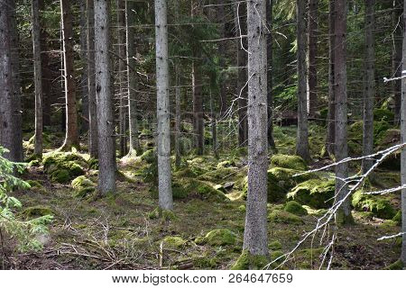 In A Beautiful Green Spruce Tree Forest