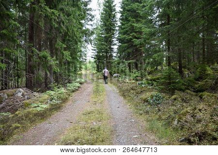 Man Walks On A Dirt Road In A Beautiful  Spruce Tree Forest
