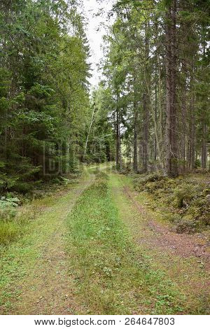 Green Country Road Through A Beautiful Spruce Tree Forest