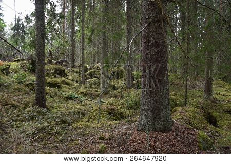 Mossy And Rocky Forest Ground In An Old Coniferous Forest