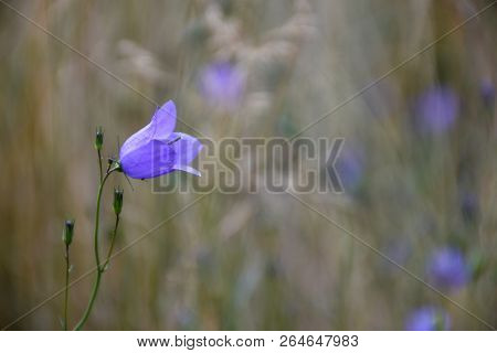 Bluebell Wildflower Closeup By A Blurred Background