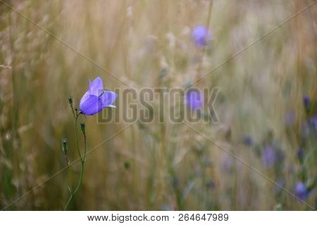 Beautiful Bluebell Closeup With A Blurred Background