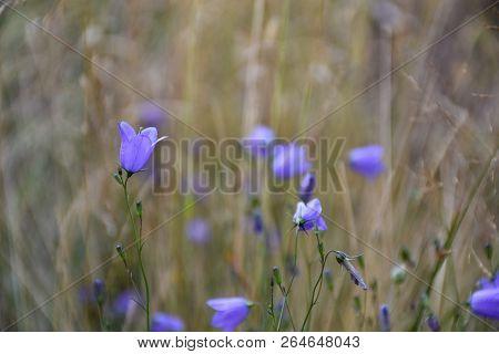 Closeup Of A Blossom Bluebell Flower In A Summer Field