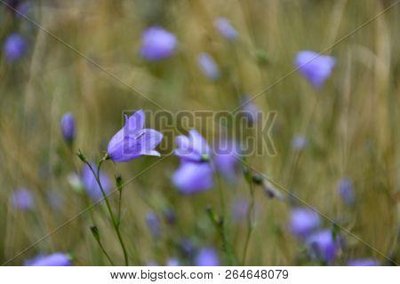 Bluebell Summer Flower Closeup In A Green Field