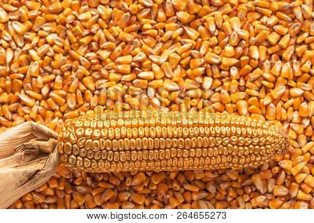 Corn Cob With Golden Seed Kernels, Conceptual Image With Valuable Agricultural Crop Cultivation