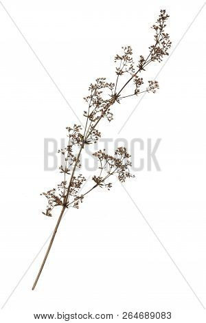 Dry Flower On A White.