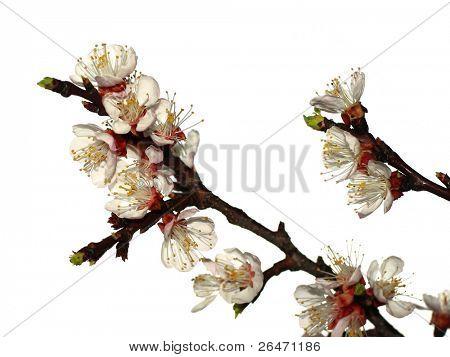 blossom of apricot - prunus armeniaca
