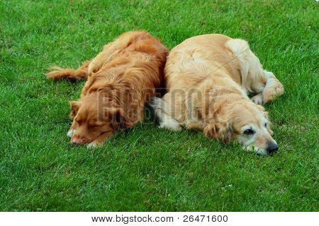 "My dog   - "" Golden retriever "" and  "" Nova Scotia Duck Tolling retriever """