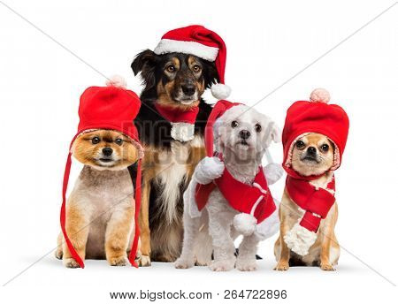 Group of dogs sitting and wearing a red bonnet, Chihuahua wearing christmas hat and scarf, in front of white background