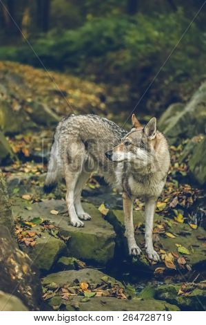 Autumn Portrait Of White, Grey, Reddish And Black Czechoslovakian Wolfdog Standing On Stones Covered