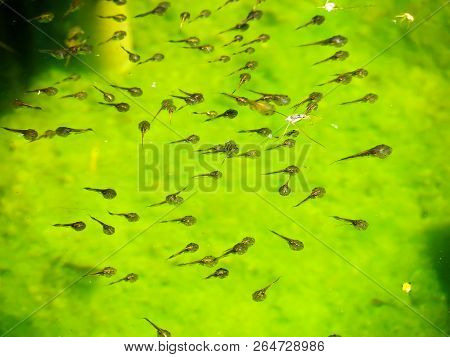 Tadpole Family And Green Nature Background, Find Any Food In Water