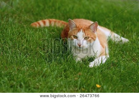 Cat - beast of prey on green background