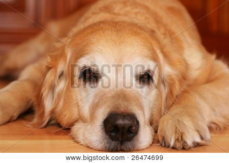 Bored dog - of golden retriever