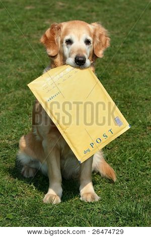 Golden retriever -  assistant of mailman