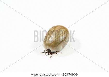 Tick on white background