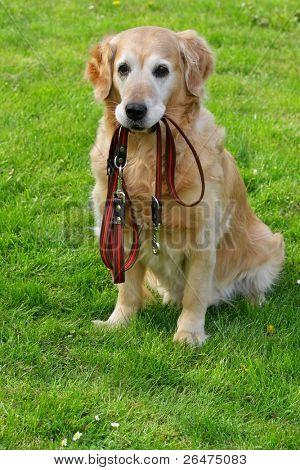 Golden retriever and he leash