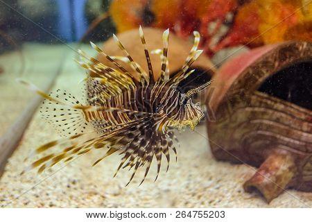Close Up Lionfish Zebrafish Firefish Turkeyfish Tastyfish Or Butterfly-cod In Aquarium