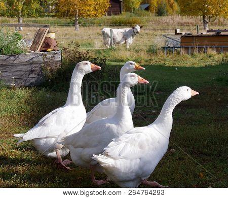 Beautiful Cute White Goose Family On Farm