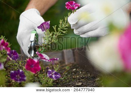 Close Up Of Male Worker Hands Cutting Flowers Off Using Pruner. Gardener Gathering Flowers In Garden
