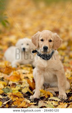 Close up look - puppy golden retriever very small focus