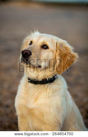 Nice specimen of dog of the race Golden Retriever poster