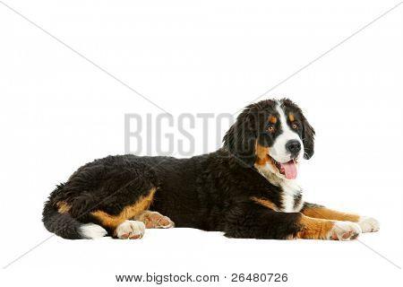 Puppy bernese mountain dog - 4 months (berner sennenhund, bernois)