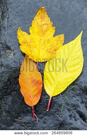 Fallen Leaves In The Autumn Rain On A Black Granite Stone, Raindrops On The Leaves, Cloudy Weather