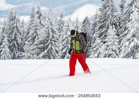 Adventurer Struggles Through The Deep Snow In Snowshoes Among Huge Pine Trees Covered With Snow On T