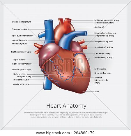Human Heart Anatomy With Detail Vector Illustration