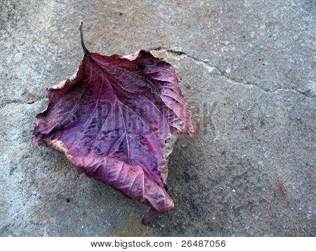 Purple fallen autumnal leaf