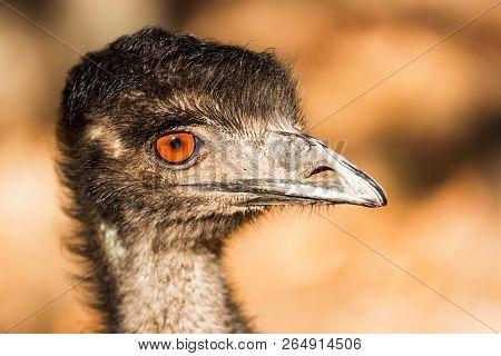 Portrait Of Emu Or Dromaius Novaehollandiae Head Close