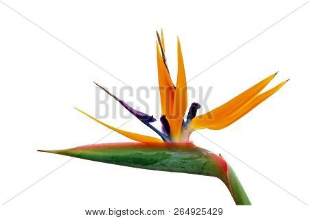 Bird Of Paradise Flower, Strelitzia Reginae, Flowering Plant Indigenous To South Africa, Isolated On