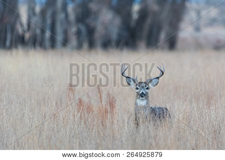 White-tailed Buck - Wild Deer In The Colorado Great Outdoors