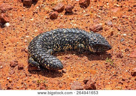 South Australia – Outback desert with a shingleback lizard as closeup on red soil