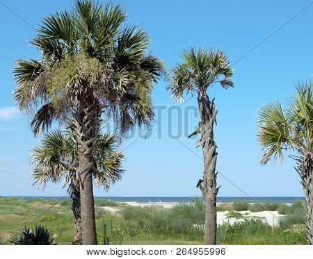 Palmetto Trees In Front Of Beach Background