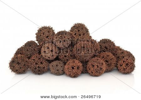 Sweetgum fruit herb used in traditional chinese herbal medicine over white background. Lu lu tong. Fructus liquidambaris.