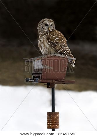 A Barred Owl stands on a seed feeder while hunting in a field for prey. poster