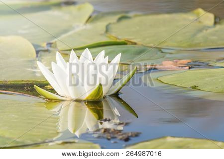 White Water Lily On Water Surface. Water Lily Reflection In Water.