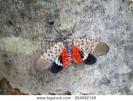 Top View Of Spotted Lantern Fly, Chester County, Pennsylvania.