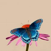 Painterly image of a Red-spotted Purple Admiral butterfly on Purple Coneflower, against light background poster