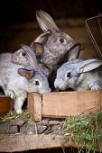 Young rabbits popping out of a hutch (European Rabbit - Oryctolagus cuniculus) poster