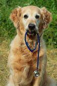 Dog holding stethoscope poster