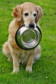 Golden retriever and shiny bowl on granule poster