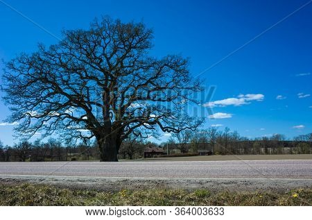 Big sprawling lonely tree without foliage near road under blue sky in spring in countryside near Vasteras, Sweden
